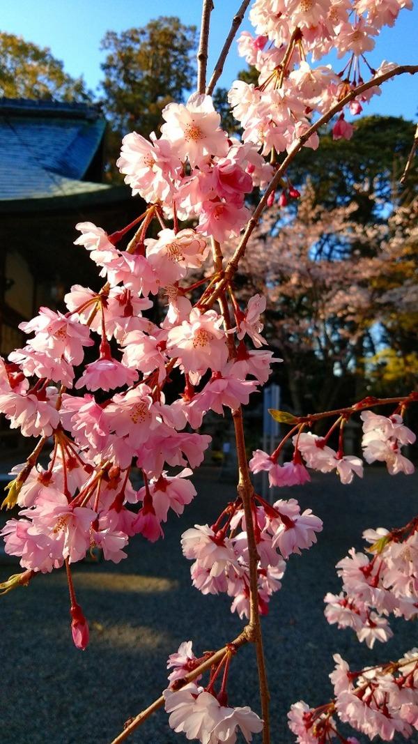 新川神社 枝垂桜